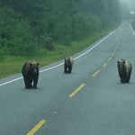 bears_on_road 2